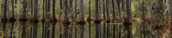 large cypress trees in swamp - Black Cypress Capital Management